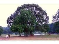 Centuries old trees in our pastures